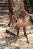 Cerfs communs - Miyajima - Japon Image stock