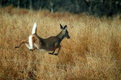 Cerfs communs Montana d'arrière blanc images stock