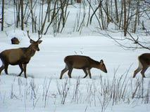 Cerfs communs nobles européens dans le sauvage, dans la forêt couverte de neige à la recherche de la nourriture, à la fin de l'hi Images stock