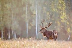 Cerfs communs nobles rouges de mâle avec de grands klaxons dans le domaine d'herbe contre l'habitat naturel de forêt d'automne Pa images libres de droits
