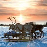 Cerfs communs nordiques Photographie stock