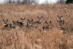 Cerfs communs observant aved circonspection Image stock