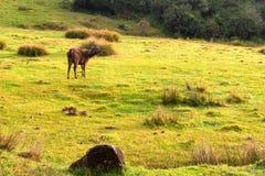 Cerfs communs ou Cervus sauvages de sambar unicolores Photo libre de droits