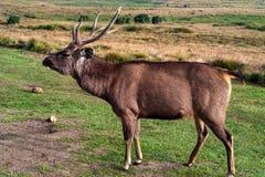 Cerfs communs ou Cervus sauvages de sambar unicolores Photographie stock libre de droits