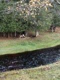 Cerfs communs par la rivière pluvieuse Photos stock