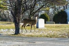 Cerfs communs par une pierre tombale grave Photos stock