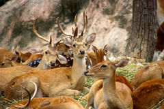 Cerfs communs parmi son troupeau Photo libre de droits