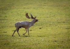 Cerfs communs pendant l'ornière Photographie stock