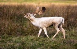 Cerfs communs pendant l'ornière Photo stock