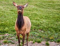 Cerfs communs perplexes Photo stock