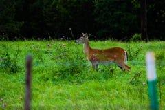 Cerfs communs posés Image stock
