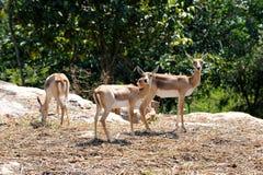 Cerfs communs près de Bangalore, Inde Photo libre de droits
