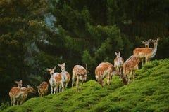 Cerfs communs près de la forêt Images stock