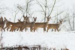 Cerfs communs près de la forêt Image stock