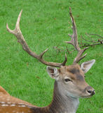 Cerfs communs principaux Photos stock