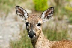 Cerfs communs principaux dans la grande clé de pin, FL Photographie stock libre de droits