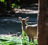 Cerfs communs qui ont été alimentés Photographie stock libre de droits