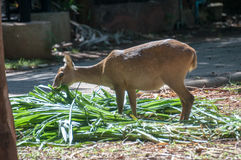 Cerfs communs qui ont été alimentés Photo libre de droits