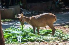 Cerfs communs qui ont été alimentés Images stock