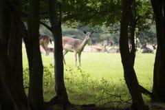 Cerfs communs regardant dans le bois pour le danger Photos libres de droits