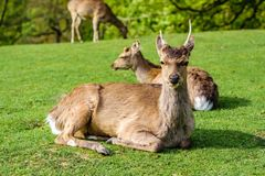Cerfs communs regardant l'appareil-photo photos stock