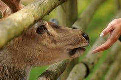 Cerfs communs regardant sur le pré en parc Images stock