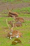 Cerfs communs repérés Photo libre de droits