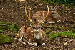 Cerfs communs repérés Photographie stock