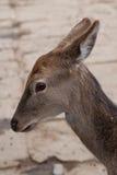 Cerfs communs repérés Photos stock