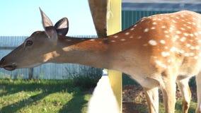 cerfs communs repérés au zoo banque de vidéos