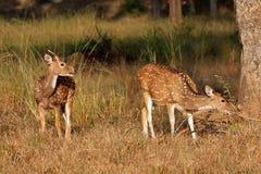 Cerfs communs repérés dans l'habitat naturel photographie stock libre de droits