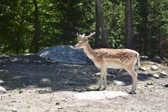 Cerfs communs repérés dans la forêt photographie stock libre de droits