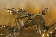 Cerfs communs repérés dans le zoo photo libre de droits