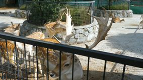Cerfs communs repérés dans le zoo banque de vidéos