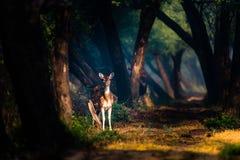 Cerfs communs repérés dans les lumières mystiques chez Bharatpur photo stock