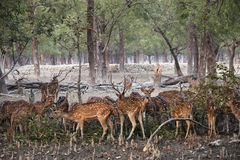Cerfs communs repérés en parc national de Sundarbans au Bangladesh Photos libres de droits