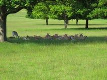 Cerfs communs repérés en Richmond Park - R-U Images libres de droits