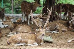 Cerfs communs repérés par cerfs communs d'axe Photographie stock libre de droits