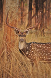 Cerfs communs repérés par mâle Photographie stock