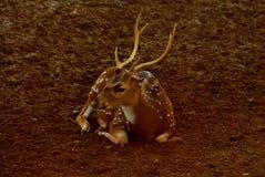 Cerfs communs repérés par mâle photos libres de droits