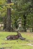 Cerfs communs reposant le  Dai-JI Nara Japan de TÅ photographie stock