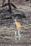 Cerfs communs repérés Image libre de droits