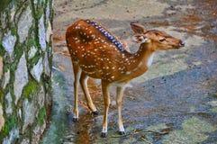 Cerfs communs repérés (chital) Images stock