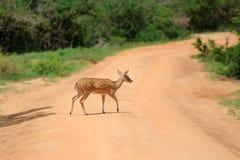 Cerfs communs repérés sauvages Photographie stock libre de droits