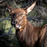 Cerfs communs riants Photos stock