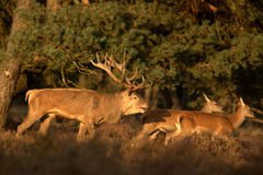 Cerfs communs rouges (1) Image stock