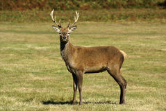 Cerfs communs rouges Image stock