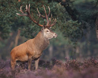 Cerfs communs rouges photos stock