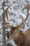 Cerfs communs rouges Photo stock