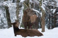 Cerfs communs rouges Images stock